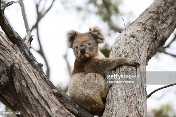 Koala affected by the recent bushfires is released back into native bushland following treatment at the Kangaroo Island Wildlife Park on February 21,...