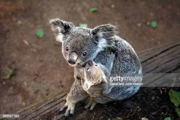 koala and baby - marsupial imagens e fotografias de stock