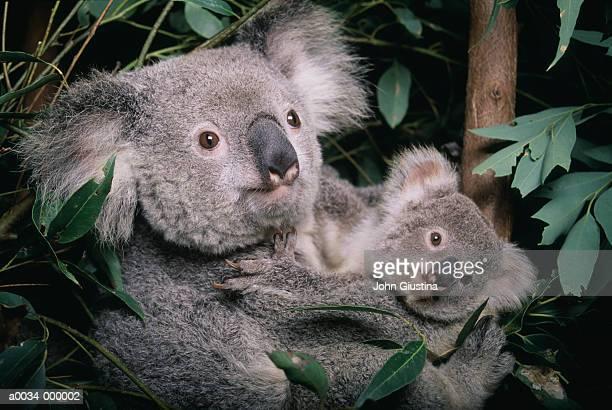 koala and cub - koala stock pictures, royalty-free photos & images