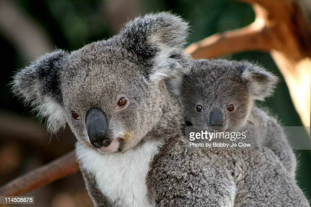 koala and joey - koala stock photos and pictures