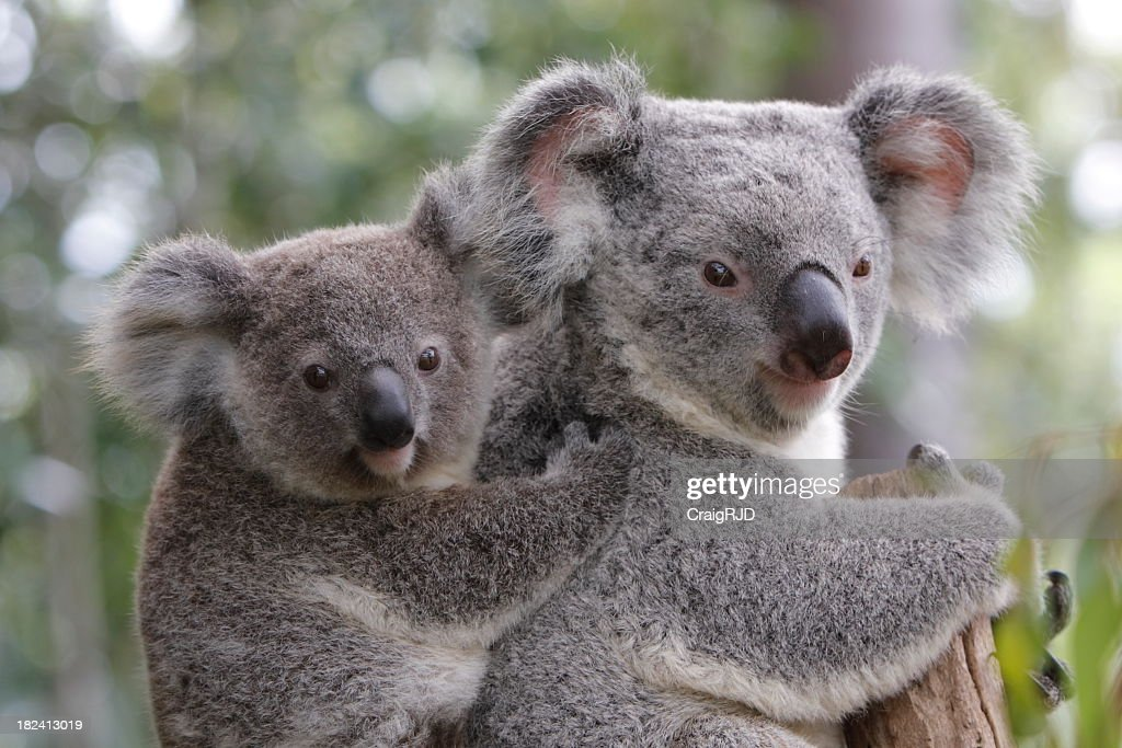 Koala and Joey : Stock Photo