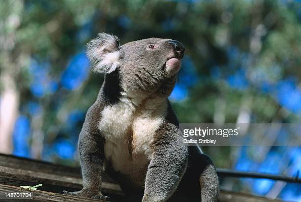 koala at koala hospital. - port macquarie stock pictures, royalty-free photos & images