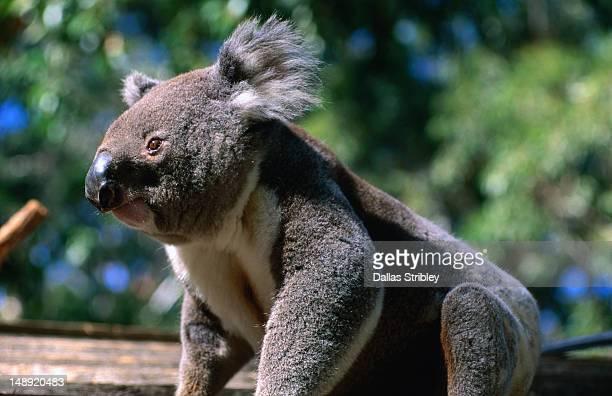 koala at koala hospital. - new south wales stock pictures, royalty-free photos & images