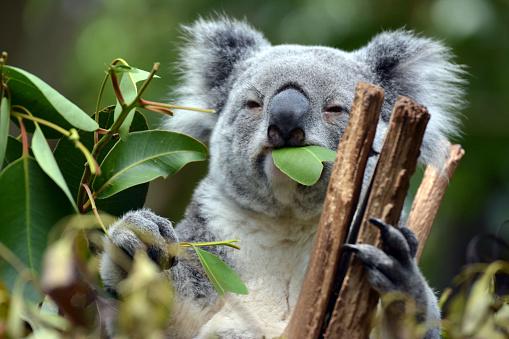 Koala at Lone Pine Koala Sanctuary in Brisbane, Australia 510169460