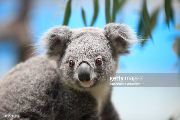 Koala at Tama Zoo, Tokyo Prefecture, Honshu, Japan