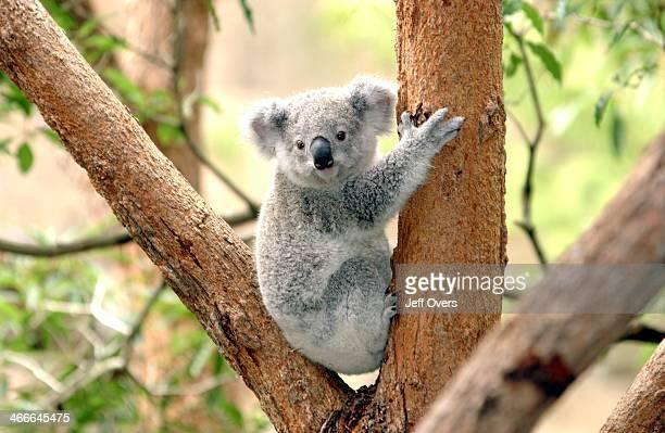 Koala at Taronga Zoo, Sydney Australia Nov 2002.