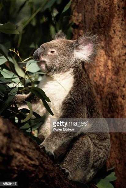 Koala bear (Phascolarctos cinereus), captive, eating leaf