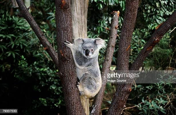koala bear climbing a tree - koala stock photos and pictures
