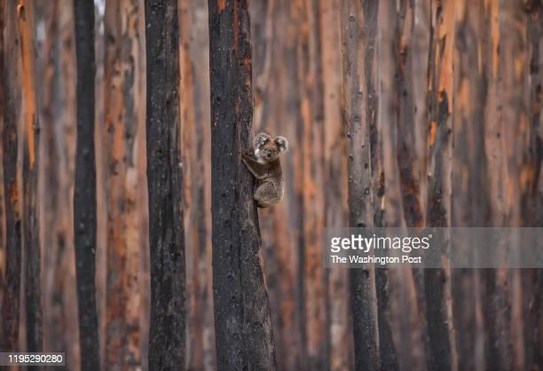 A koala bear climbs a charred eucalyptus tree as it escapes the hands of Humane Society International's Patrick Brothers of Takoma Park MD not...