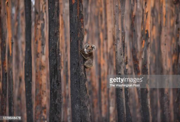 Koala bear climbs a charred eucalyptus tree as it escapes the hands of Humane Society International's Patrick Brothers, of Takoma Park, MD., not...