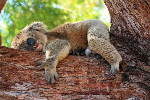 koala bear 526724013
