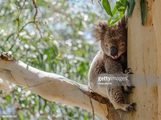 Koala bear sitting in a gum tree, Melbourne, Australia