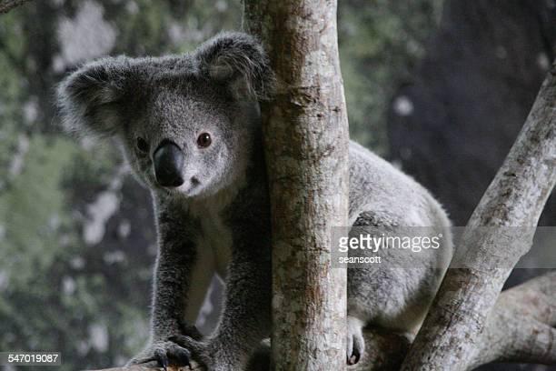 Koala bear sitting in a tree, Queensland, Australia