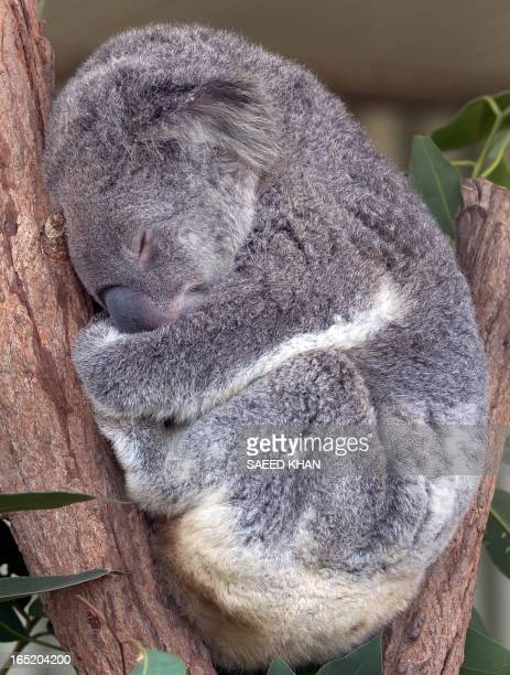 A Koala bear takes a nap at wild life Sydney Zoo on April 2 2013 The Wild life Sydney Zoo is a big attraction specially for tourists at the Darling...