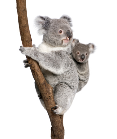 Koala bear with child climbing a branch 93218298