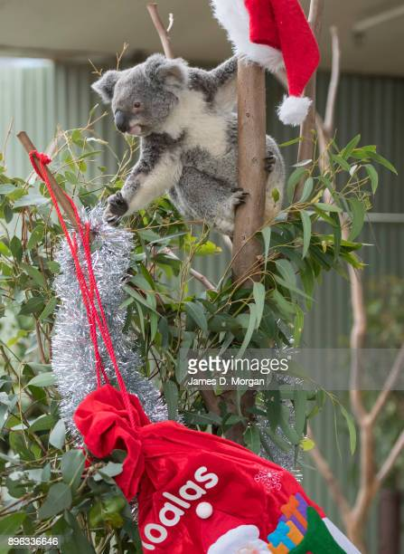 A koala called Iluka checks out her Christmas eucalyptus tree at Wild Life Sydney Zoo on December 21 2017 in Sydney Australia A variety of native...
