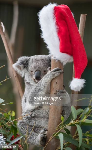 A koala called Iluka checks out her Christmas eucalyptus tree at Wild Life Sydney Zoo on December 21 2017 in Sydney Australia A variety of native...