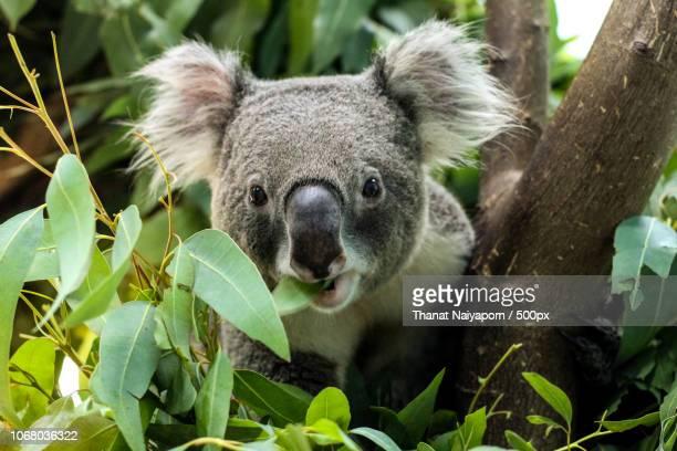 koala chewing leaf . - koala stock-fotos und bilder