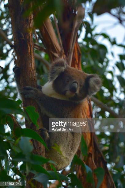 Koala climbing on a tree looking at camera