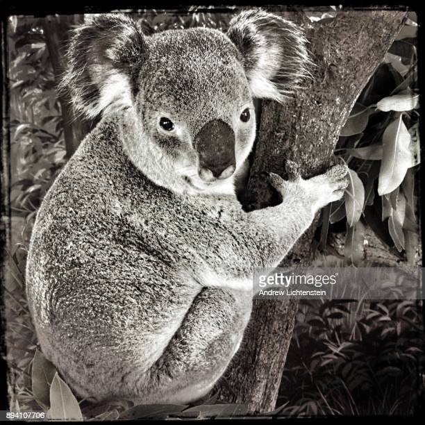 A koala clings to a tree in its exhibit cage on November 19 2017 at the Miami Zoo in Miami Florida