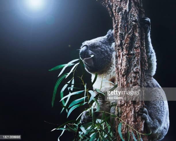 koala eating eucalyptus leaves - rob castro stock pictures, royalty-free photos & images