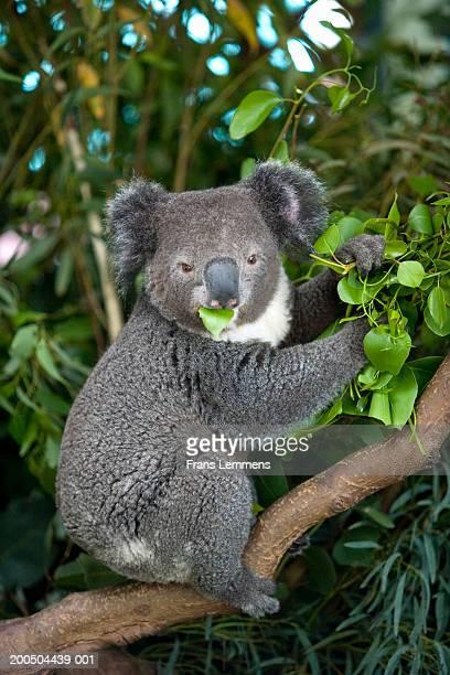 Koala (Phascolarctos Cinereus) eating eucalyptus leaves