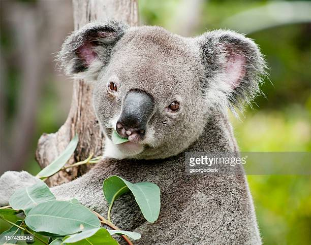 Koala eating eucalyptus
