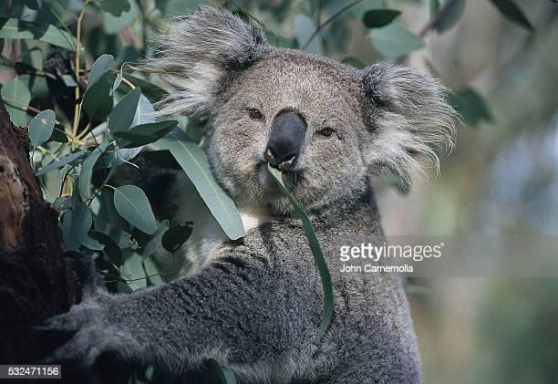 Koala eating gum leaves