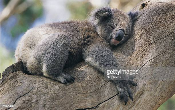 koala hugging a tree - koala photos et images de collection