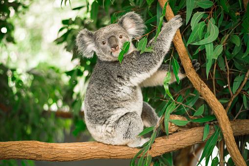 Koala in a eucalyptus tree. 652995036