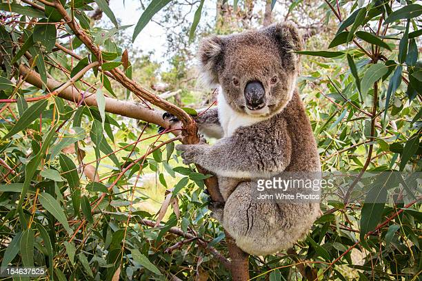 koala in a gum tree. eyre peninsula. australia. - koala stock photos and pictures