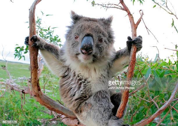Koala in a gum tree