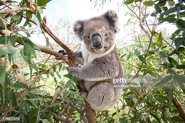 Koala in a gum tree, South Australia