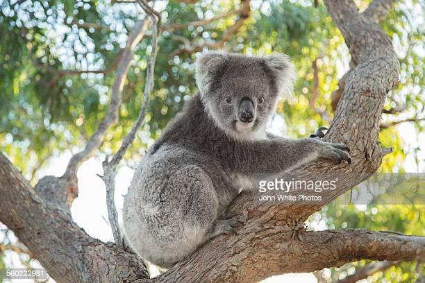 koala in a gum tree. south australia. - koala photos et images de collection