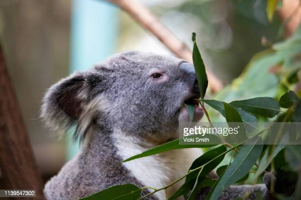 koala in a tree australia - eucalyptus tree stock pictures, royalty-free photos & images