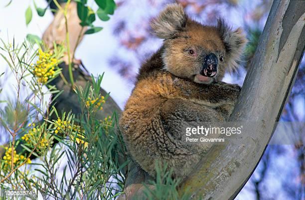 Koala in an Eucalyptus tree, Kangaroo Island, South Australia, Australia