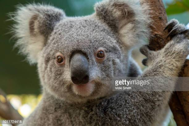 koala in tree - koala stock photos and pictures