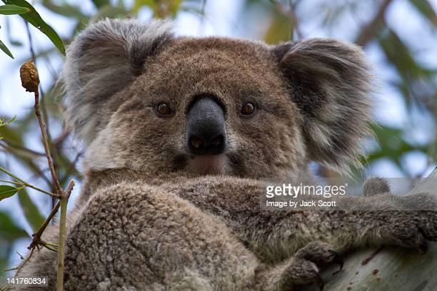 Koala in wild
