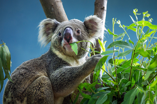 Koala is eating eucalyptus leaves. 987312248