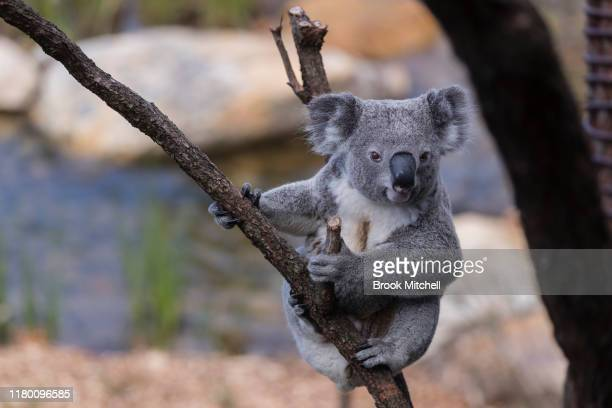 A koala is pictured at Taronga Zoo on October 10 2019 in Sydney Australia The Wildlife Retreat at Taronga is an overnight ecoretreat within Taronga...
