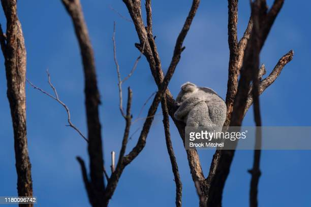 Koala is pictured next to new rooms at the Wildlife Retreat at Taronga Zoo on October 10, 2019 in Sydney, Australia. The Wildlife Retreat at Taronga...