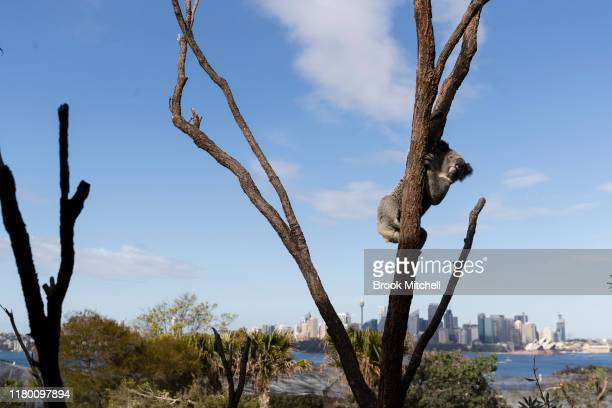 A koala is pictured next to new rooms at the Wildlife Retreat at Taronga Zoo on October 10 2019 in Sydney Australia The Wildlife Retreat at Taronga...