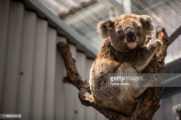 A koala is rehabilitated at Taronga Zoo in Sydney after a bushfire ravaged its habitat in the Blue Mountains west of Sydney NSW January 13 2020 The...