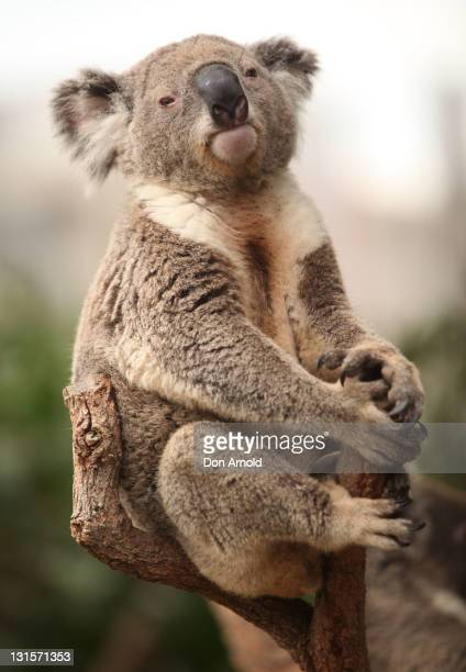 A koala is seen sitting in a tree during Susan Boyle's visit to WILD LIFE Sydney on November 6 2011 in Sydney Australia This is Susan's first visit...