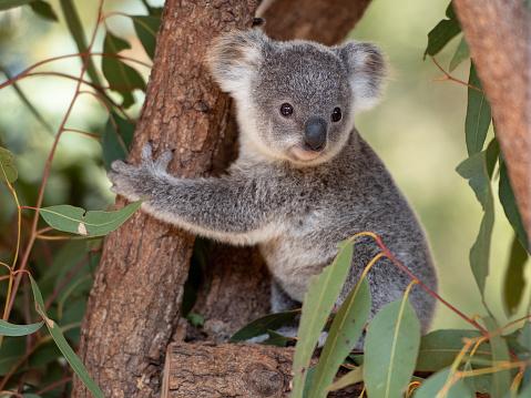 Koala joey hugs a tree branch surrounded by eucalyptus leaves 1200335548