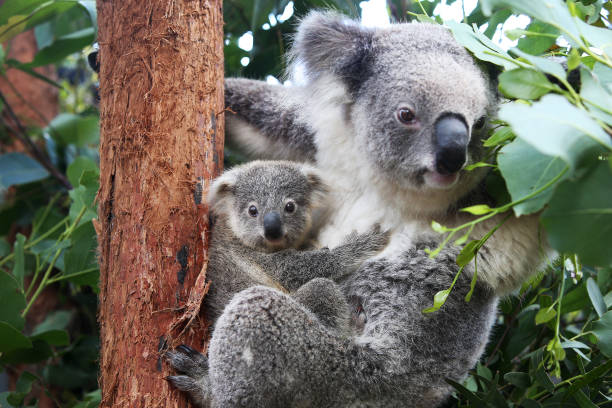 AUS: New Koala Joey On Display At Taronga Zoo