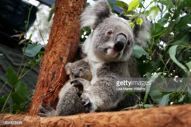 Koala joey Humphrey is comforted by mother Willow at Taronga Zoo on March 02, 2021 in Sydney, Australia. Eight-month-old Humphrey is the first koala...
