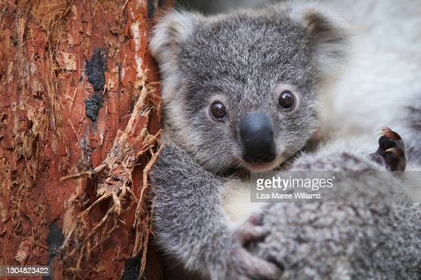 Koala joey Humphrey sits amongst eucalyptus at Taronga Zoo on March 02, 2021 in Sydney, Australia. Eight-month-old Humphrey is the first koala joey...