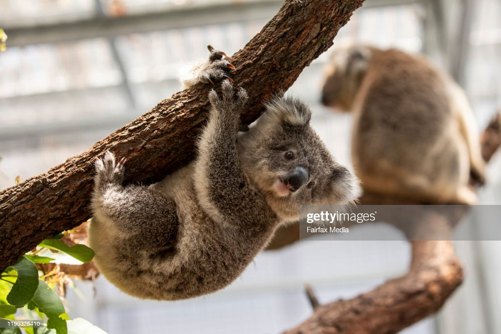 Koalas are rehabilitated at Taronga Zoo in Sydney after bushfires ravaged their habitat in the Blue Mountains, 2020 : News Photo