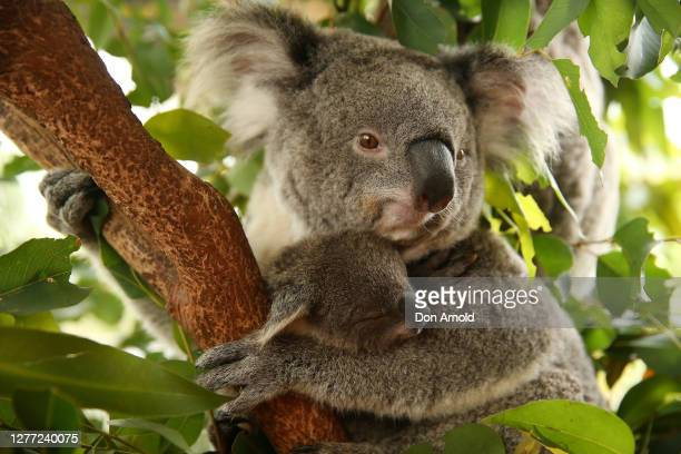 Koala joey 'Sapphire' is seen clinging to her mother 'Scarlet' at WILD LIFE Sydney Zoo on September 29, 2020 in Sydney, Australia. The...
